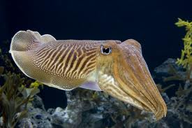 The Cuttlefish