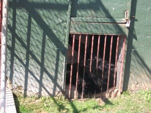 That's a bear behind those bars.