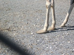 deformed feet of giraffe