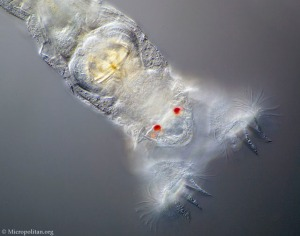 Bdelloid Rotifer - unique and amazing animals